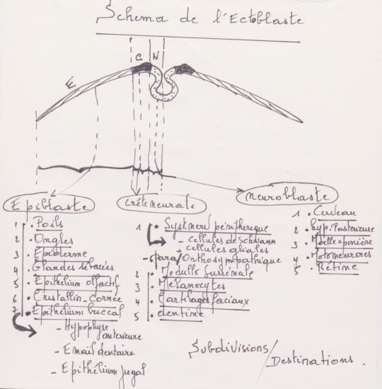ectoderme-1-2.jpg