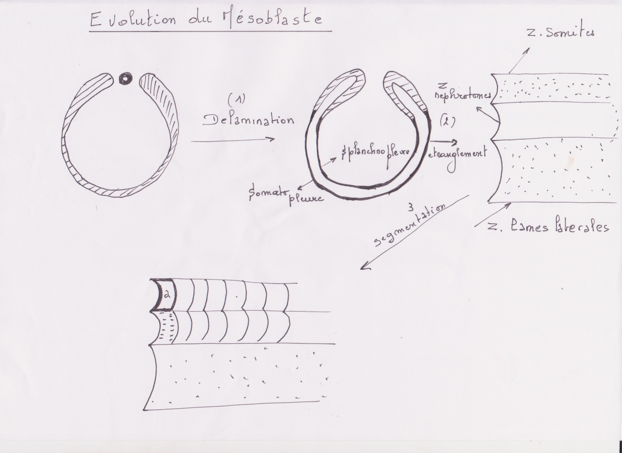 meso1-1.jpg